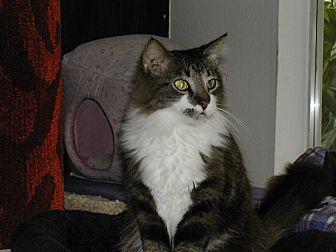Domestic Longhair Cat for adoption in Bonita Springs, Florida - Kumari