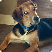 Adopt A Pet :: Broley - Uxbridge, MA
