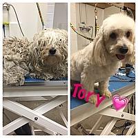 Adopt A Pet :: Tory - Thousand Oaks, CA
