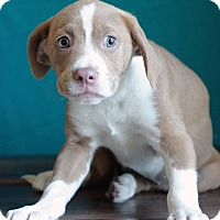 Adopt A Pet :: Adelle - Waldorf, MD