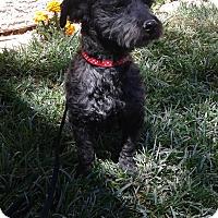 Adopt A Pet :: Rosie 2 - Las Vegas, NV