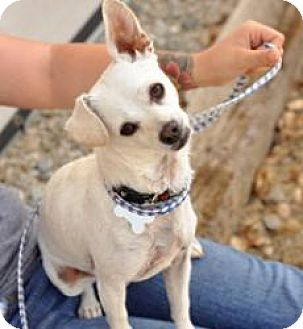 Chihuahua Mix Dog for adoption in Newhall, California - Snowcone
