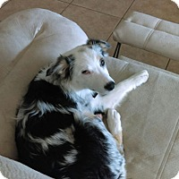 Adopt A Pet :: Carlie - Las Vegas, NV