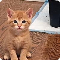 Adopt A Pet :: Peter Pan Orange Tabby Kitten! - Burbank, CA