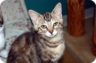 Domestic Shorthair Kitten for adoption in Lake City, Michigan - Kitten ID# 1843