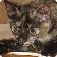 Domestic Shorthair Cat for adoption in Gonzales, Texas - Rafi