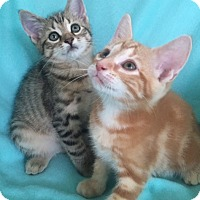 Domestic Shorthair Kitten for adoption in Bloomsburg, Pennsylvania - Lisa's Kittens