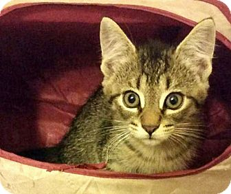 Domestic Shorthair Kitten for adoption in Sterling Heights, Michigan - Heath