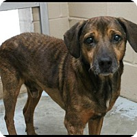 Shar Pei/Shepherd (Unknown Type) Mix Dog for adoption in Hilton Head, South Carolina - Scrappy