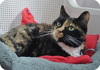 Calico Cat for adoption in Howell, Michigan - Pepper