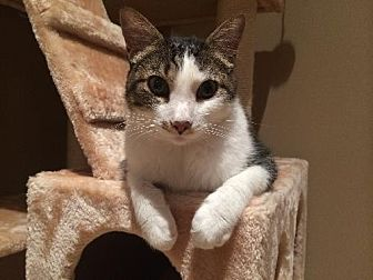 Domestic Shorthair Cat for adoption in St. Louis, Missouri - Hugo