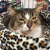 Domestic Mediumhair Cat for adoption in Houston, Texas - Miss Sally Scruffles
