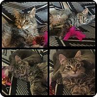 Domestic Mediumhair Kitten for adoption in Madison, Alabama - Caylee
