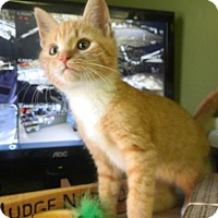Domestic Shorthair Kitten for adoption in Randleman, North Carolina - Moses