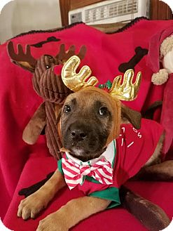 German Shepherd Dog/Retriever (Unknown Type) Mix Puppy for adoption in Detroit, Michigan - Tinsel