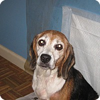 Beagle Dog for adoption in Allentown, Pennsylvania - Tilly