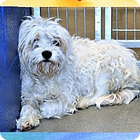 Adopt A Pet :: Cockapoo - San Jacinto, CA