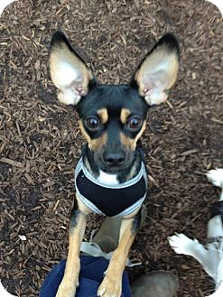 Miniature Pinscher Mix Dog for adoption in Los Angeles, California - Rocket