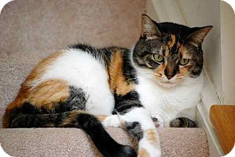 Domestic Shorthair Cat for adoption in Fairborn, Ohio - Calico Girl