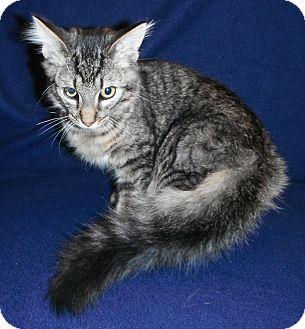 Domestic Mediumhair Kitten for adoption in Jackson, Michigan - Rex