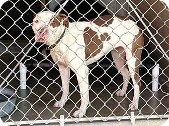 Pit Bull Terrier/Pit Bull Terrier Mix Dog for adoption in San Diego, California - Piper URGENT