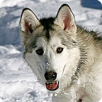 Alaskan Malamute Puppy for adoption in Boise, Idaho - MESHA