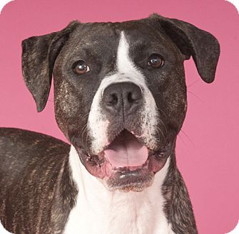 Salsa | Adopted Dog | Chicago, IL | Boxer/American Bulldog Mix