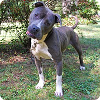 Adopt A Pet :: DOUGIE BLUE - Media, PA