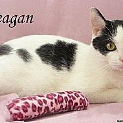 Photo 3 - Domestic Shorthair Cat for adoption in St Louis, Missouri - Reagan