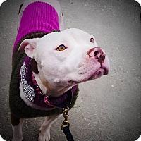Adopt A Pet :: Brandy - Charlotte, NC