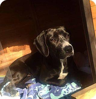 Labrador Retriever/Beagle Mix Dog for adoption in Houston, Texas - Mia