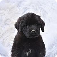 Adopt A Pet :: Twain - Groton, MA