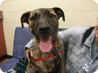 Plott Hound/German Shepherd Dog Mix Dog for adoption in Decatur, Georgia - Lola [Foster Me?] *Free Training*