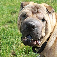 Shar Pei Dog for adoption in Nashua, New Hampshire - Max
