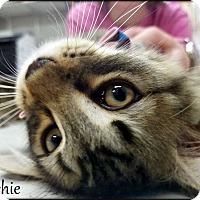Domestic Mediumhair Cat for adoption in Ottumwa, Iowa - Richie