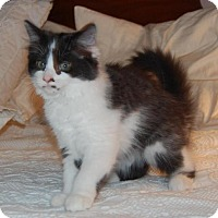 Domestic Longhair Kitten for adoption in Fishers, Indiana - Priscilla Lee (adoption pending)