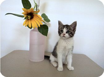 American Shorthair Kitten for adoption in Baltimore, Maryland - Kitties