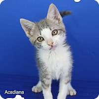Adopt A Pet :: Cassidy - Carencro, LA