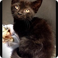 Domestic Shorthair Kitten for adoption in Hartford City, Indiana - Chloe