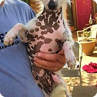 Adopt A Pet :: Wofgang - Wyanet, IL