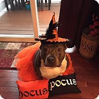 Adopt A Pet :: Laia - Baltimore, MD