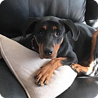 Rottweiler Dog for adoption in Valley Stream, New York - Jackie