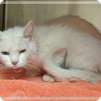 Domestic Shorthair Cat for adoption in Marietta, Georgia - WILLOW