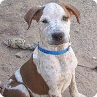 Adopt A Pet :: Peanut - San Tan Valley, AZ