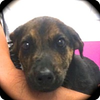 Adopt A Pet :: ScrappyDoo - Ijamsville, MD