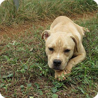 Labrador Retriever Mix Dog for adoption in Marble Falls, Texas - Angel