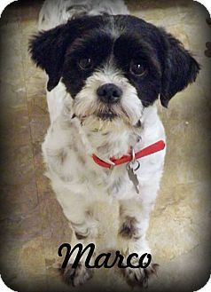 Shih Tzu Dog for adoption in Anaheim Hills, California - Marco