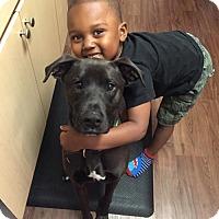 Boxer/Labrador Retriever Mix Dog for adoption in Chandler, Arizona - ZEUS