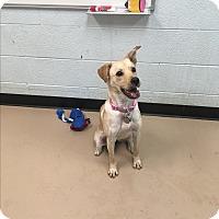Adopt A Pet :: Blondie - Nashville, TN