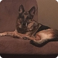 German Shepherd Dog Mix Dog for adoption in Greeneville, Tennessee - Champ (Cat Friendly)
